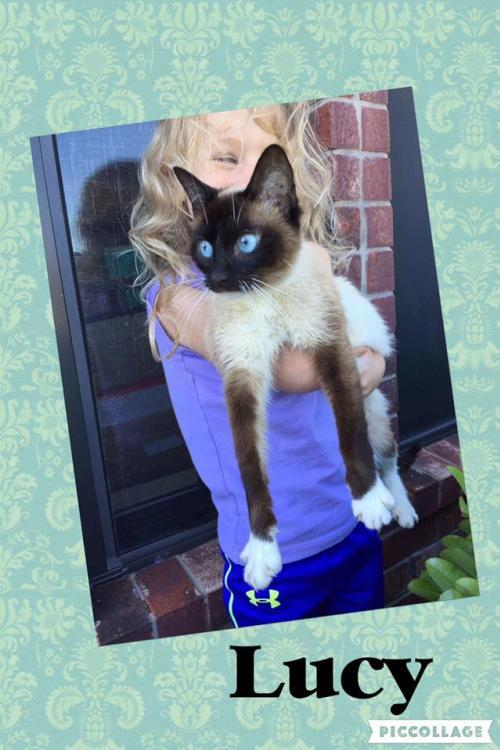 Lucy, an adopted Siamese in Dallas, TX