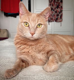 Fabulous and friendly Roxie is a 4-year-old buff tabby Unique in color with ama