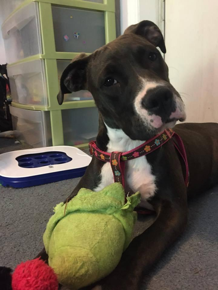 Lilo aka Piggy, an adopted American Staffordshire Terrier in Mooresville, NC