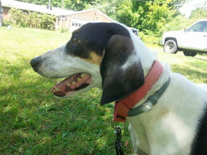Cheyenne, an adopted Hound in Fulton, NY