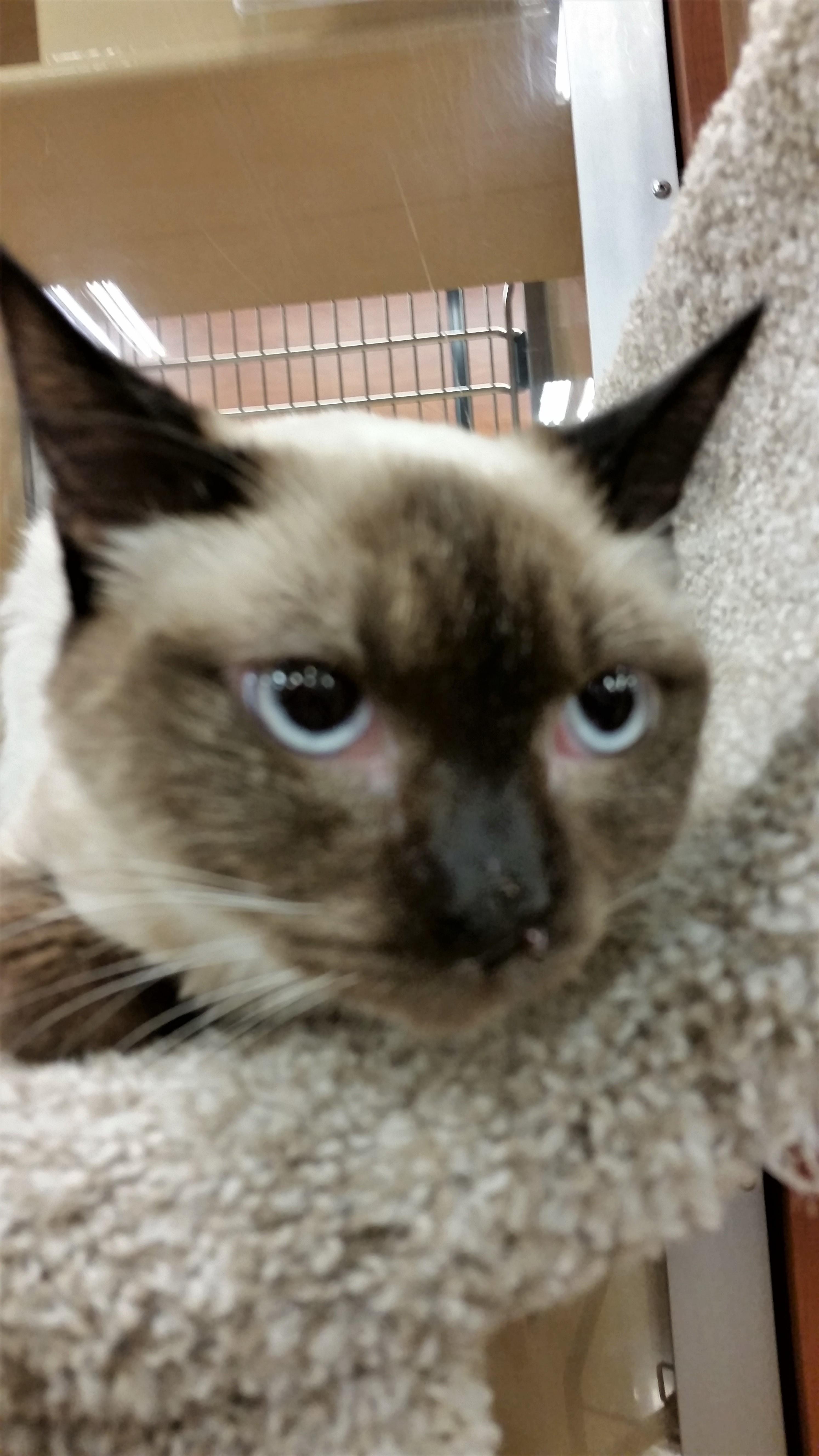 Cat For Adoption Sesame A Siamese In Carrollton Tx Petfinder