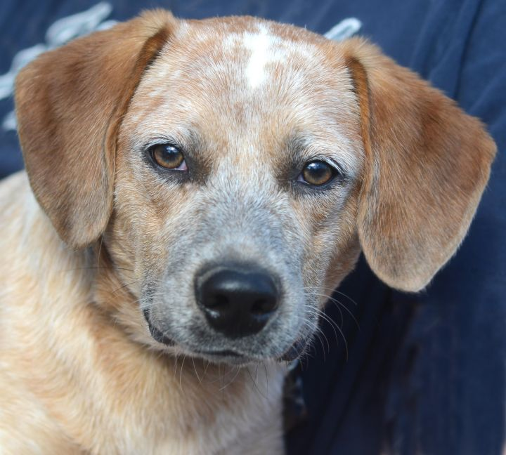 Guthrie, an adoptable Australian Cattle Dog / Blue Heeler & Beagle Mix in New Windsor, NY