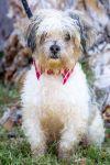 Havanese Dog: Karlo