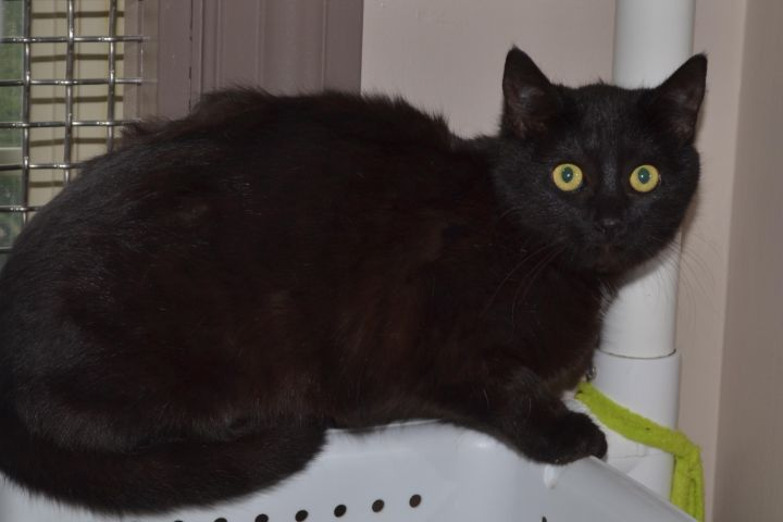 Victra, an adopted Domestic Short Hair in North Saint Paul, MN