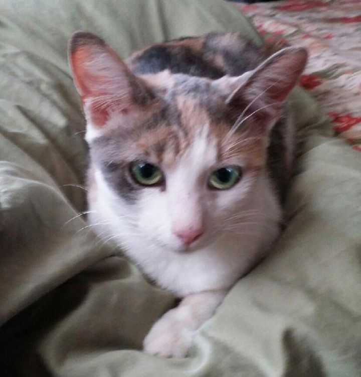 Mitzi, an adoptable Domestic Short Hair & Calico Mix in Mission Viejo, CA