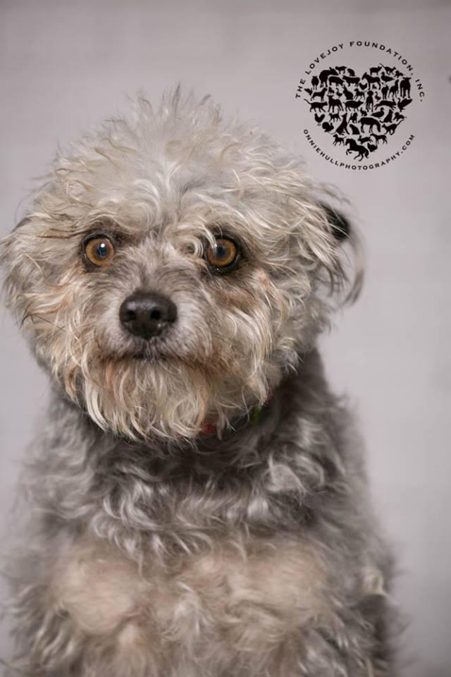 Roscoe P. Coletrain, an adopted Cairn Terrier & Poodle Mix in Inglewood, CA