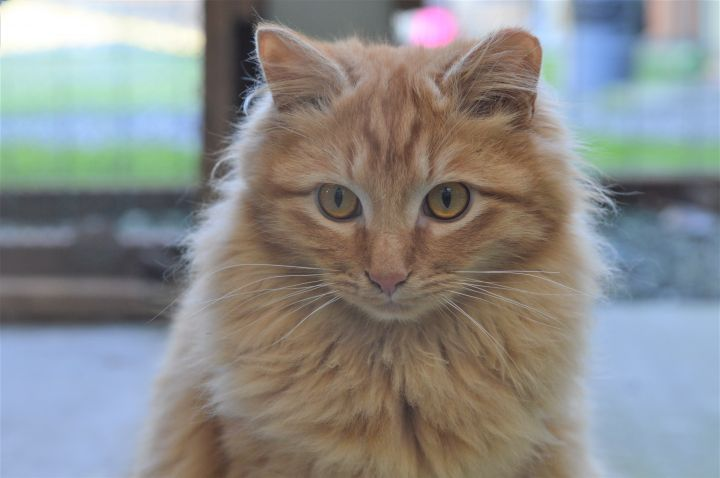 Cat for adoption - Barn Cats, a Domestic Short Hair in