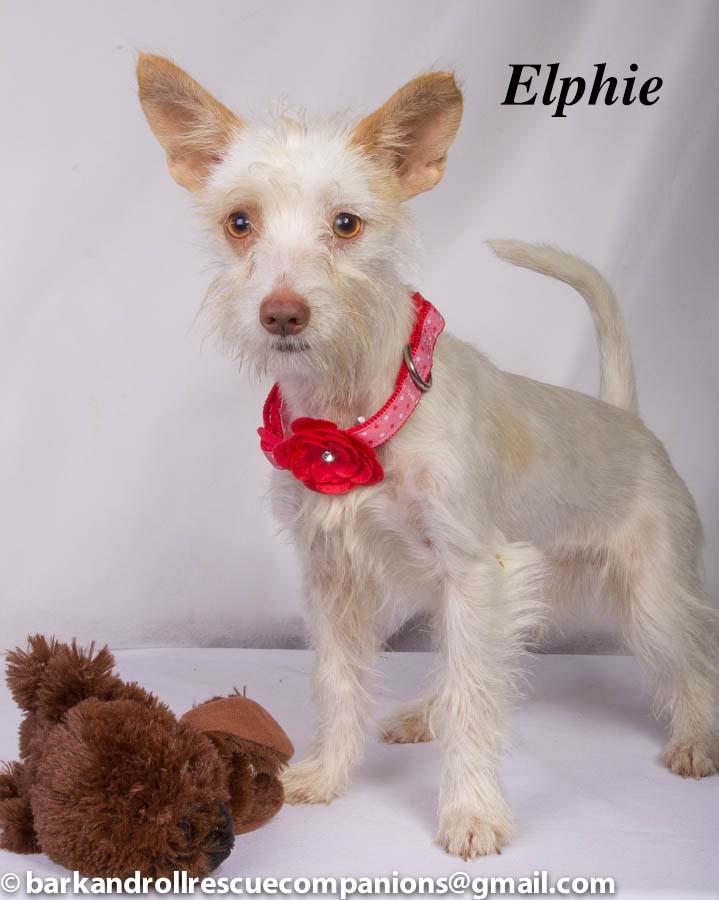 Elphie, an adopted Schnauzer in Baton Rouge, LA