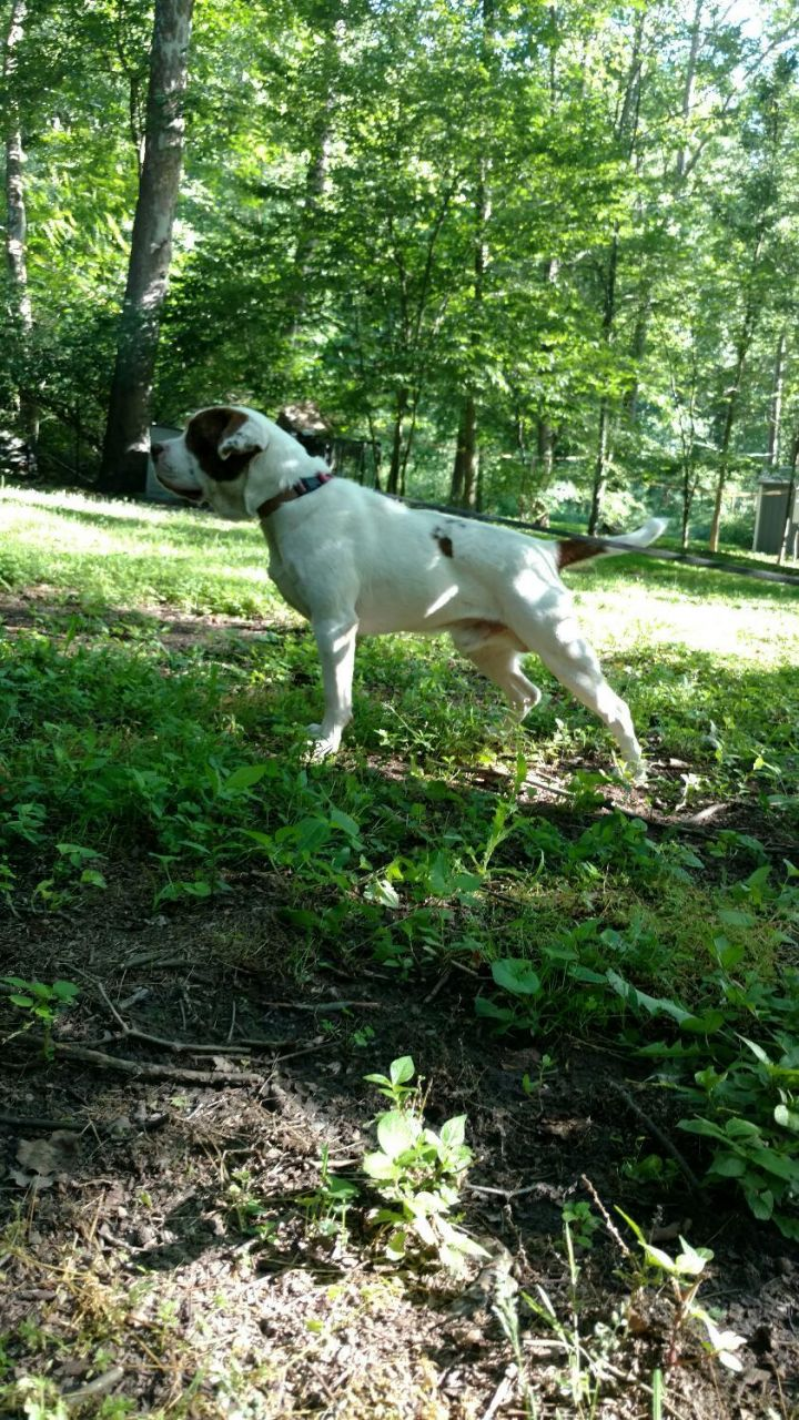 Zeus, an adopted Clumber Spaniel in Capon Bridge, WV_image-3