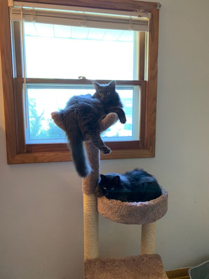 Cat for adoption - Simba, a Domestic Long Hair in Milwaukee