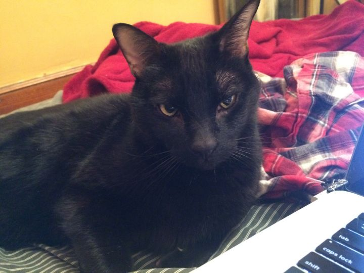 Bela Lugosi, an adopted Domestic Short Hair in Montreal, QC