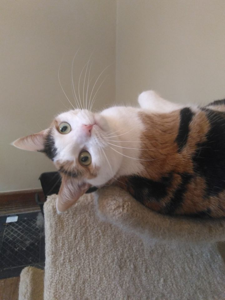 BALI, an adoptable Calico in West Milwaukee, WI