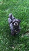 Shih Tzu Dog: Abby
