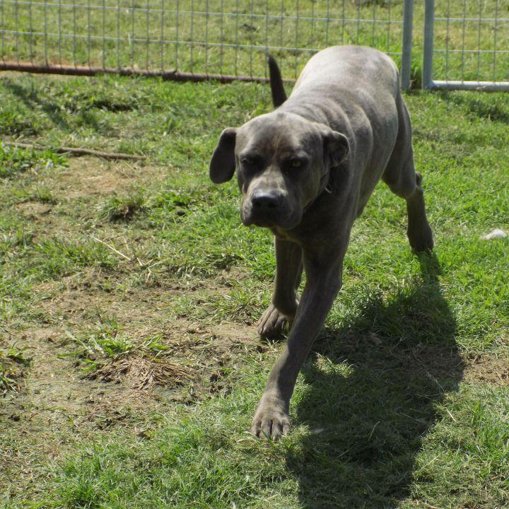 Dog for adoption - Kodi, a Neapolitan Mastiff & Cane Corso