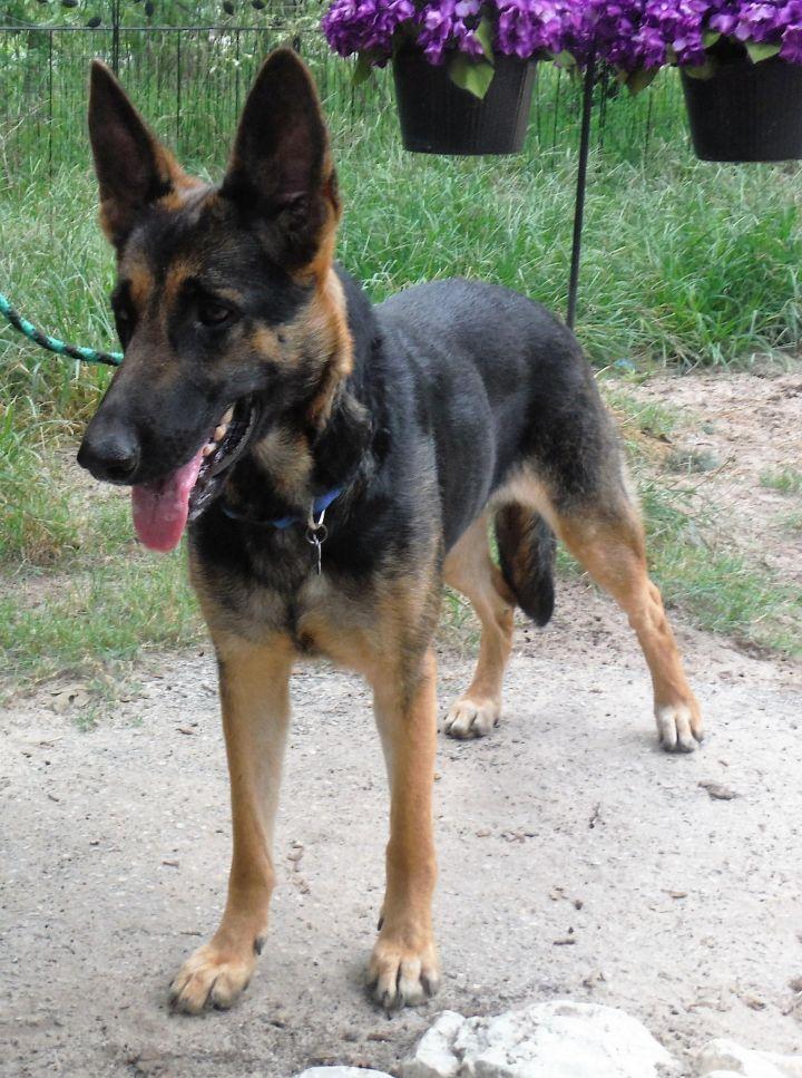 Dog For Adoption Daisy A German Shepherd Dog In San Antonio Tx