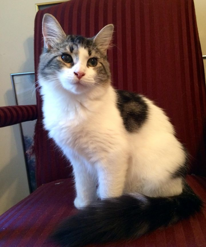 Hugo, an adopted Domestic Medium Hair in Tallahassee, FL
