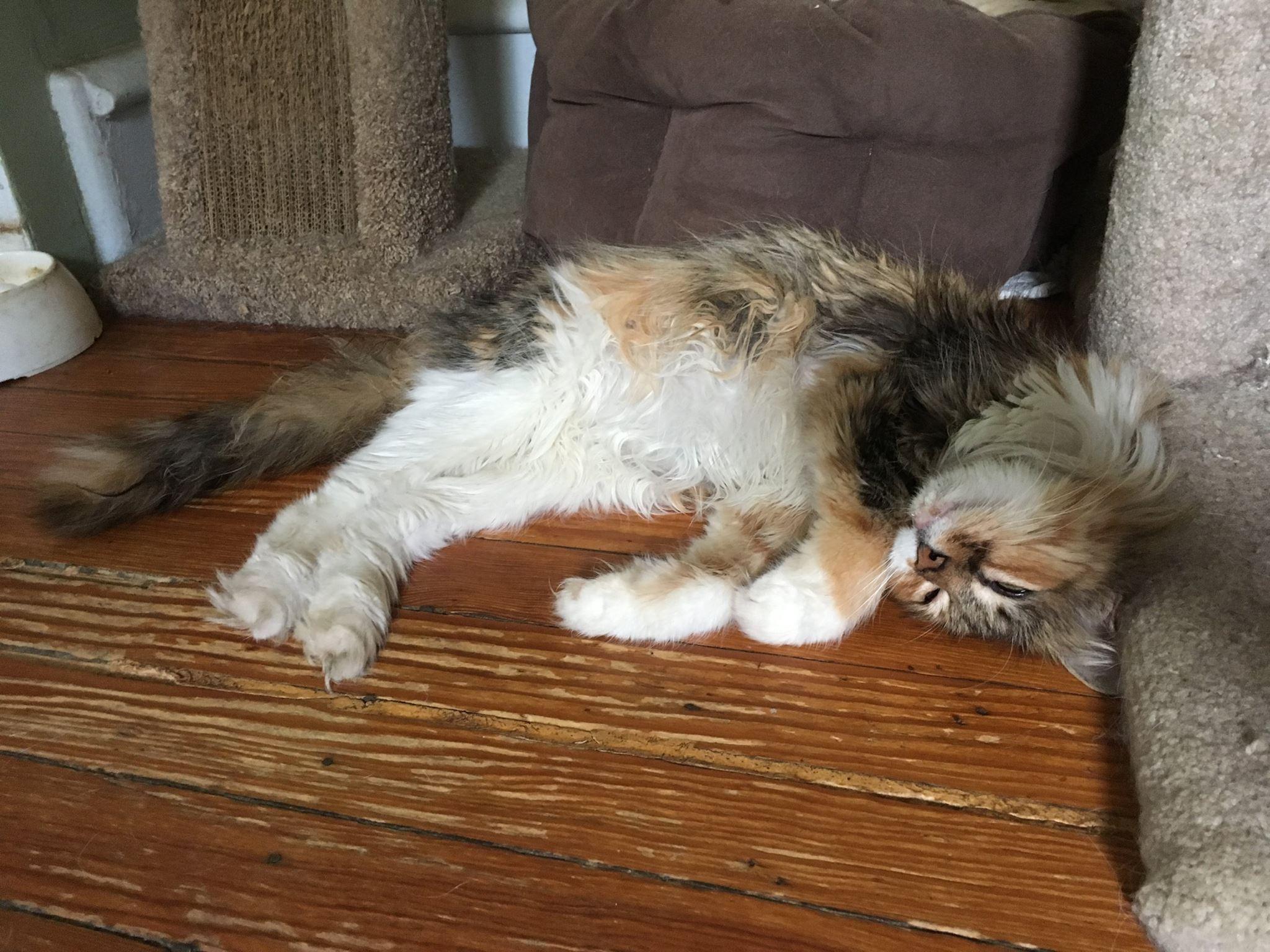 Cat for Adoption – APRICOT near Philadelphia PA