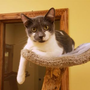 Cubby is a gray and white male He was found with his two brothers Indy and JoJo by a court