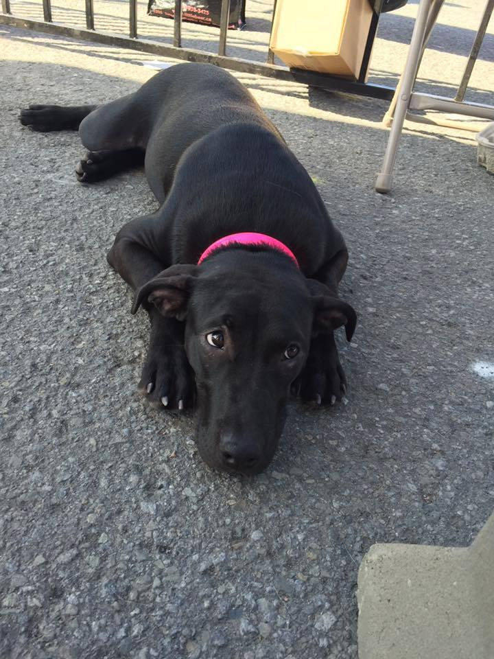 Dixie, an adoptable Boxer & Labrador Retriever Mix in Laval, QC