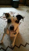 Labrador Retriever Dog: Trixie