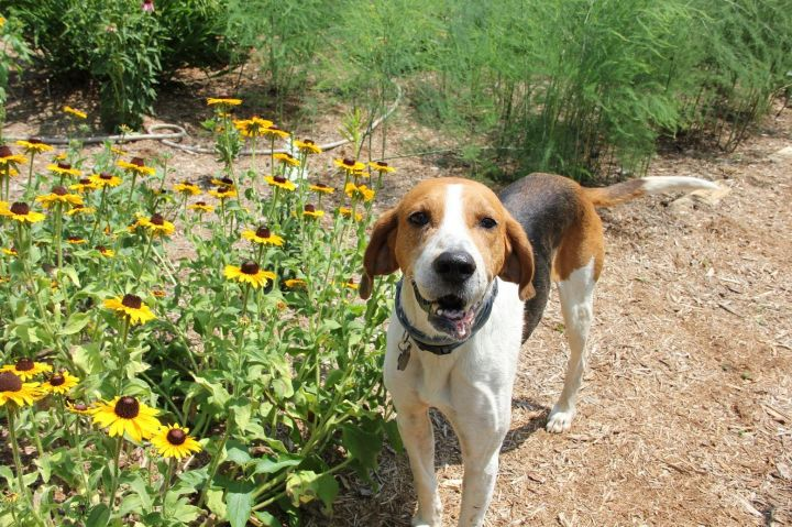 Eddie, an adopted Foxhound in Pittsboro, NC