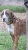 Lakeland Terrier Dog: callie
