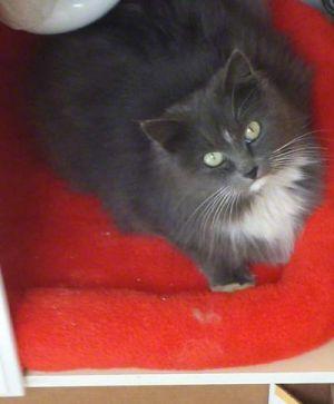 Mia Domestic Long Hair Cat