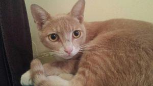 Meet Vinny Vinny is a handsome American Shorthair Burmese Mix He is a buff tabby born around 120