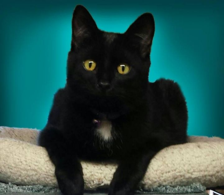 Slugger, an adoptable Domestic Short Hair Mix in Waverly, IA
