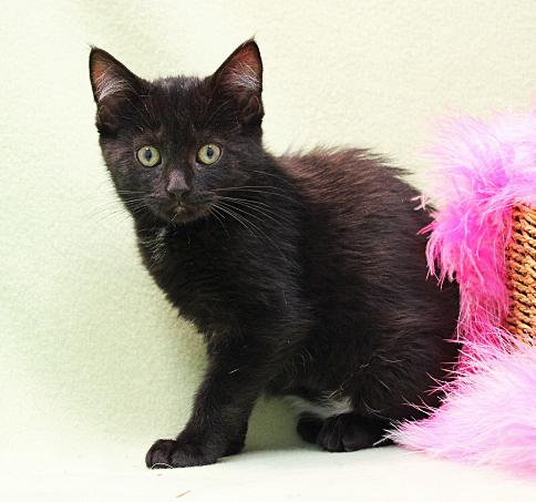 Fudge, an adoptable Domestic Medium Hair Mix in Waverly, IA