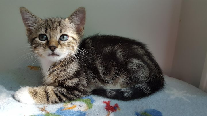 Mulligan, an adopted Tabby Mix in Hampstead, NC