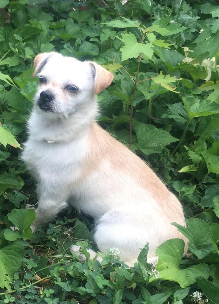 Gilbert, an adoptable Terrier Mix in Maumee, OH