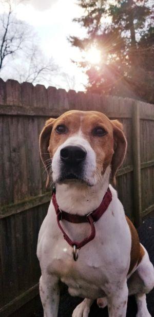 Taco Beagle Dog