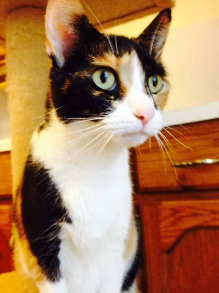 Miss Kitty, an adopted Calico in Nashville, TN