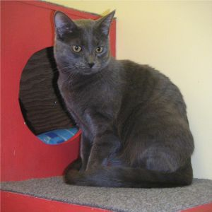 Brahma is a large gray male He and his siblings arrived at the shelter as kittens All of them were