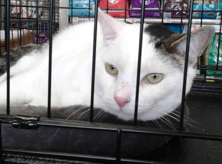 Snow, an adopted Domestic Short Hair Mix in Levittown, NY