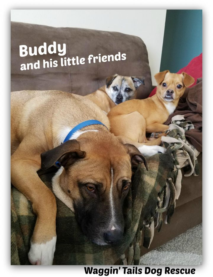 Buddy, an adopted Labrador Retriever & Bullmastiff Mix in Northville, MI