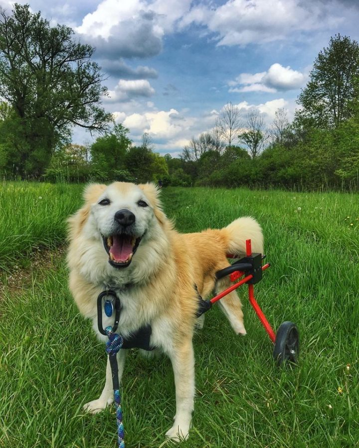 Tamana - Paralyzed, an adoptable Spitz Mix in Cleveland Heights, OH