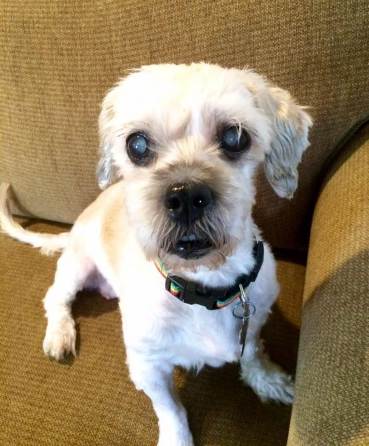 Dog For Adoption Coco A Shih Tzu Poodle Mix In