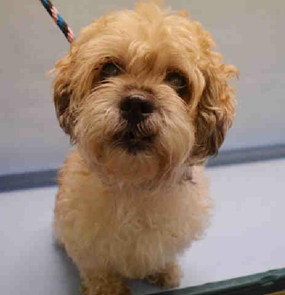 Coco, an adoptable Shih Tzu & Poodle Mix in Plainview, NY