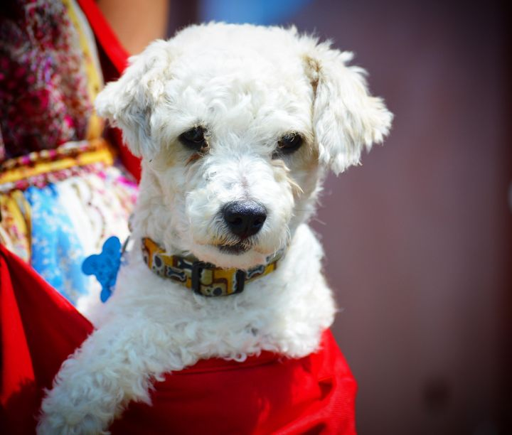 Little Bob-ADOPT Me!, an adopted Poodle & Bichon Frise Mix in Redondo Beach, CA
