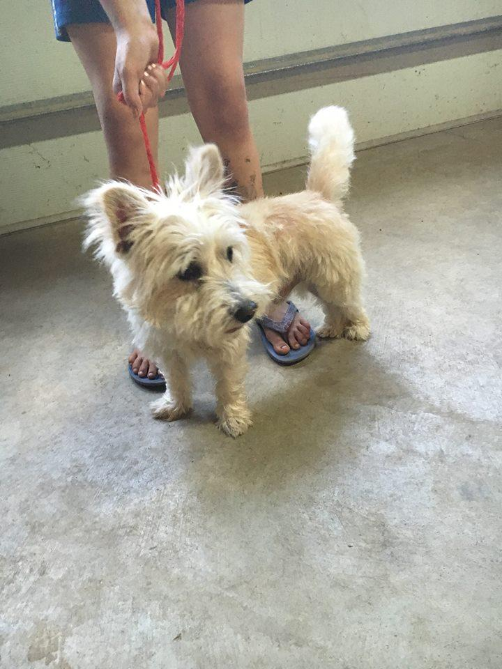 Walter, an adopted West Highland White Terrier / Westie in Fulton, NY