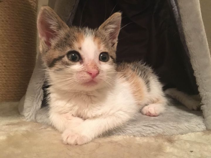 Artemis, an adopted Calico Mix in Stanford, CA