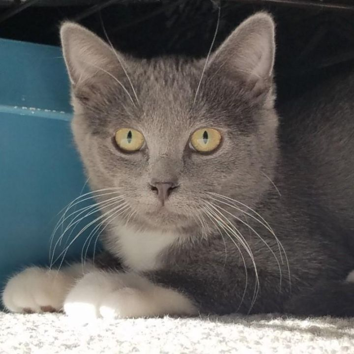 Roxie, an adoptable Domestic Short Hair in Omaha, NE