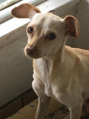 Charlie Brown Chihuahua Dog