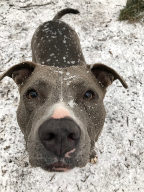 Natasha, an adopted American Staffordshire Terrier Mix in Cortlandt Manor, NY