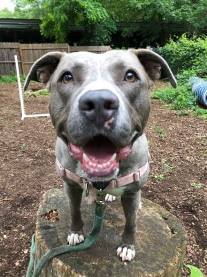 Natasha is a beautiful pittie mix who is around five years old Too many of those years have been sp