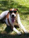 Foxhound Dog: Bandit
