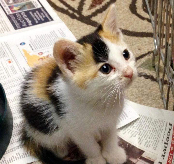 Giza, an adopted Calico in Stanford, CA