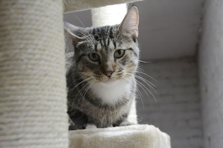Starlet, an adoptable Domestic Short Hair & Tabby Mix in Burlingham, NY